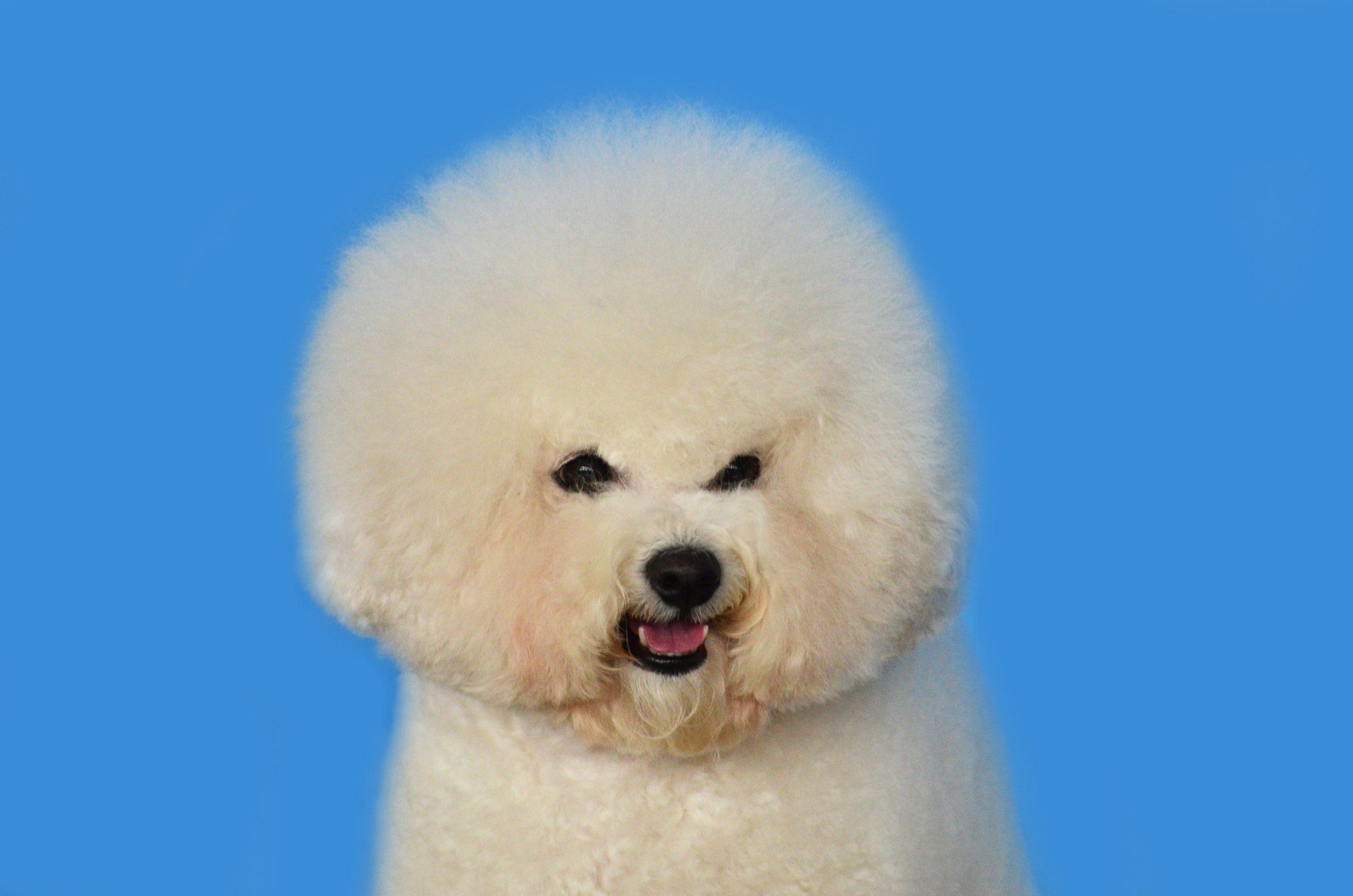 Bichon Frise healthiest dog breed