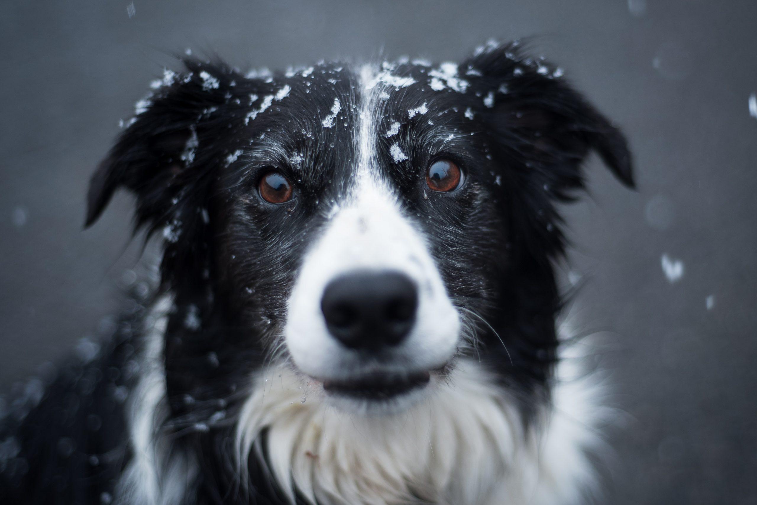 Border Collies healthiest dog breed