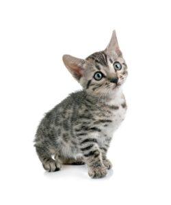 cat-whisperer-pinterest-smm